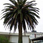 Palmeira / Palmera