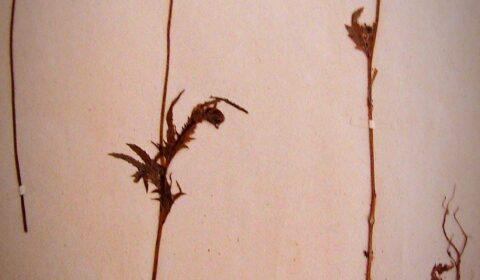 """""""Un home nunca é tan grande como cando se agacha para coidar unha flor"""" (Anónimo) . Papoula silvestre (Papaver rhoeas) pertencente aos herbarios do Instituto Fernando Blanco, mercados no curso 1890-1891 en París."""