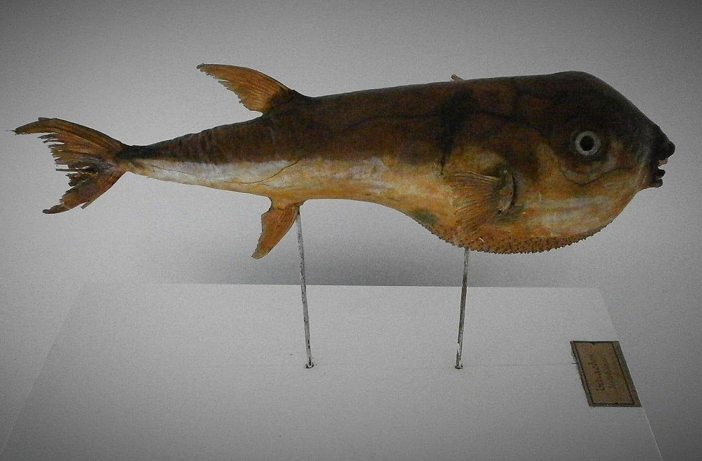 """""""Todos somos genios, pero si juzgas a un pez por su capacidad para escalar árboles vivirá toda su vida pensando que es un inútil"""" (Albert Einstein) . Pez globo (Tetraodon testudineus) perteneciente al gabinete de historia natural, comprado en el curso 1890-1891 en París."""