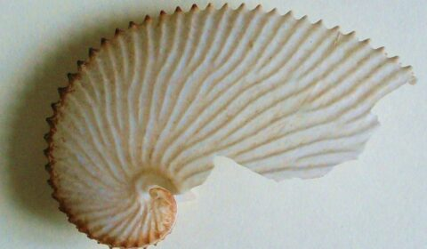 Argonauta tuberculata